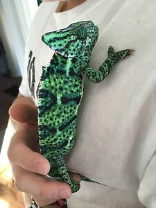 1 year old chameleon with everything
