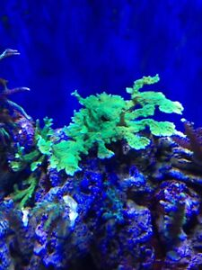 Saltwater corals for sale
