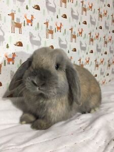 Blue Tort pure bred Holland Lop