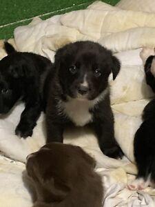 Borador Puppies
