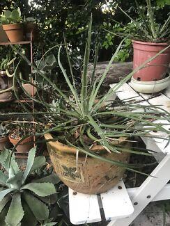 Unusual succulent/agave plant