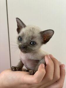 Burmese kittens pure bred $300