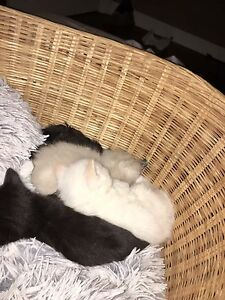 6 Gorgeous Ragdoll Kittens Available