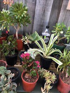 Succulents / plants $5 each Meadow Springs Mandurah Area Preview