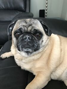 6 year old pug—needing forever home
