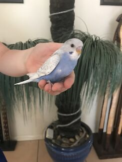 Hand raised baby budgies