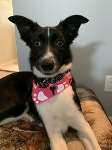 Looking to rehome my Border Collie x Blue Heeler