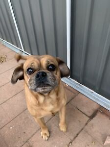 Pug x beagles free to a good home | Dogs & Puppies | Gumtree