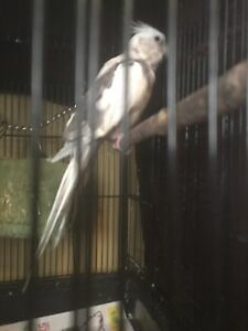 Cockatiel white and gray