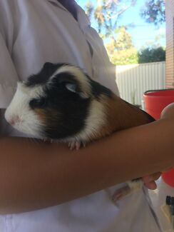 Male guinea pig is look for a new family