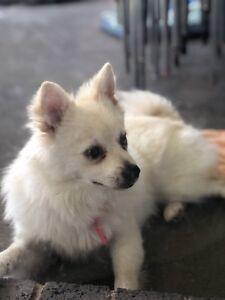 Pomeranian In Camden Area Nsw Dogs Puppies Gumtree Australia