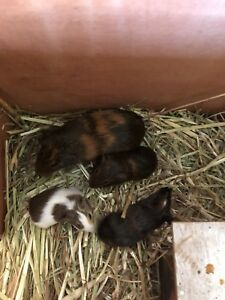 Guinea Pig - 2 x male 1 x female just weened. Kelmscott Armadale Area Preview