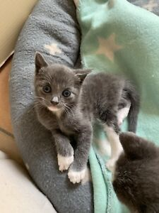 Kittens for sale (Price Drop, Only 2 Left)