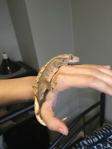 Wanted: Adult female crested gecko