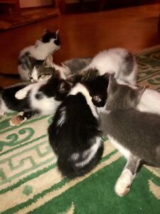 6 beautiful kittens- raised with kids and dogs