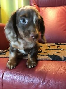 Beautifull miniature longhaired dachshund puppy SOLD