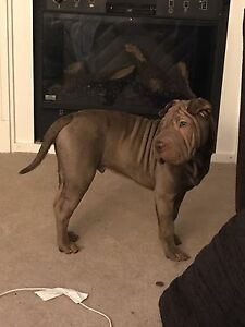 5 month old SHAR PEI (male) brown