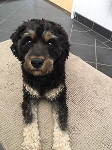 Looking for poodle or poodle cross. Bayswater Bayswater Area Preview