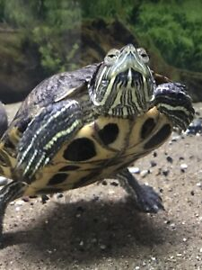 Trading for a red eared slider 8""