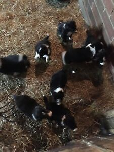 Beautiful Border Collies Puppies