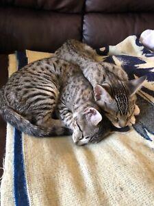 F5 Savannah Kittens