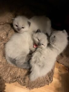 Stunning ragdoll kittens ready for holiday homes