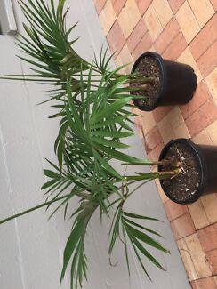 2 bangalow palms $50