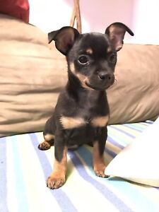 Teacup Chihuahua Puppy For Sale