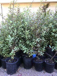 Plant Clearance Sale, Pittosporum English Box Westringia Lilly Pilly &