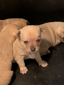 Chihuahua X Toy Fox Terrier Puppies - Ready for Christmas