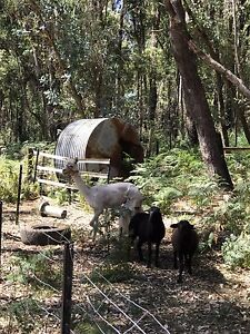Male alpaca for sale Dwellingup Murray Area Preview