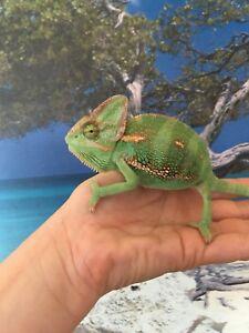 Beautiful Chameleons for sale