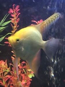 Yellow angel fish