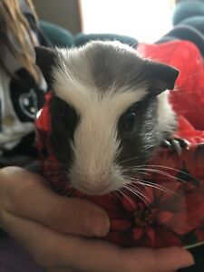 Male guinea pig pup
