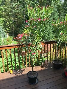 Oleander Potted Plants