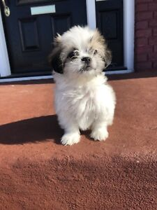 Beautiful Shih Tzus Toys Pupps Males Ready To Go.