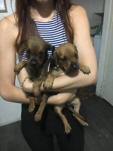Rottweiler x puppies