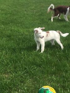 Registered Border Collie pup Red Merle
