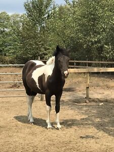Paint/percheron cross