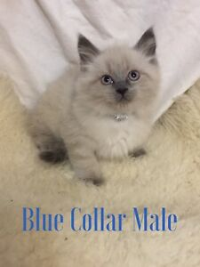 Ragdoll Male Kittens Coming to Calgary (27th) & Edmonton (28th)