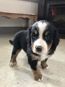Bernese mountain dog puppies. 3 left !