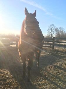 Standardbred gelding available for ADOPTION