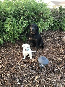 Lab cross pyrenees puppies for sale!