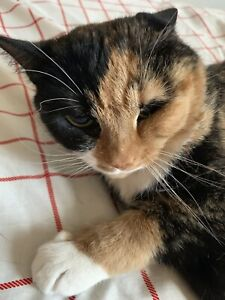 Calico cat to be rehomed  Free