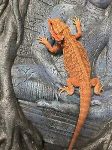 Subadult Extreme Red Bearded Dragon