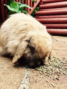 Mini lop bunny   looking for a new home Ryde Ryde Area Preview