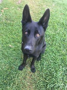 1 yo German Shepard Puppy needs rehome (Rare black coat Everton Hills Brisbane North West Preview