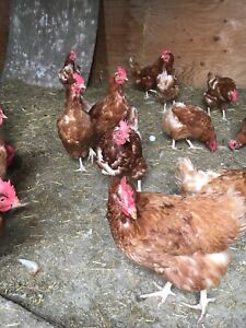 Brown laying hens for sale
