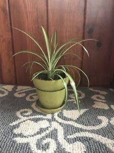 Indoor Plants / Spider Plants
