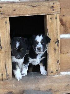 Australian Shepherd  3/4 x 1/4 Blue Heeler Puppies